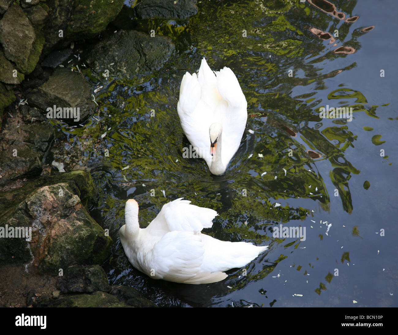 Two swans swimming together in pond reflections from the trees on  water surface. Stock Photo