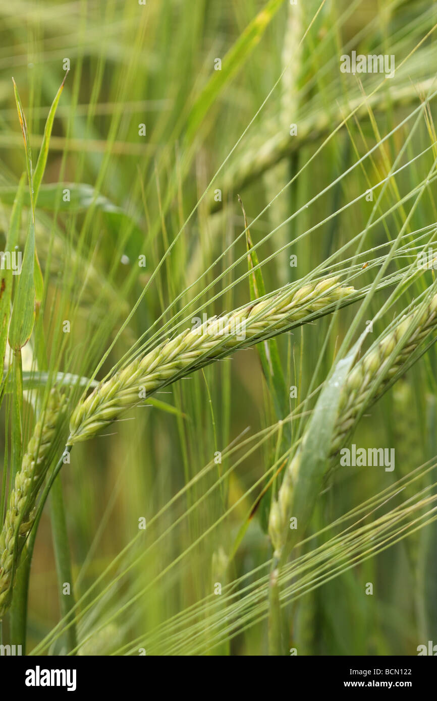 Wheat an arable crop field in July Somerset England - Stock Image
