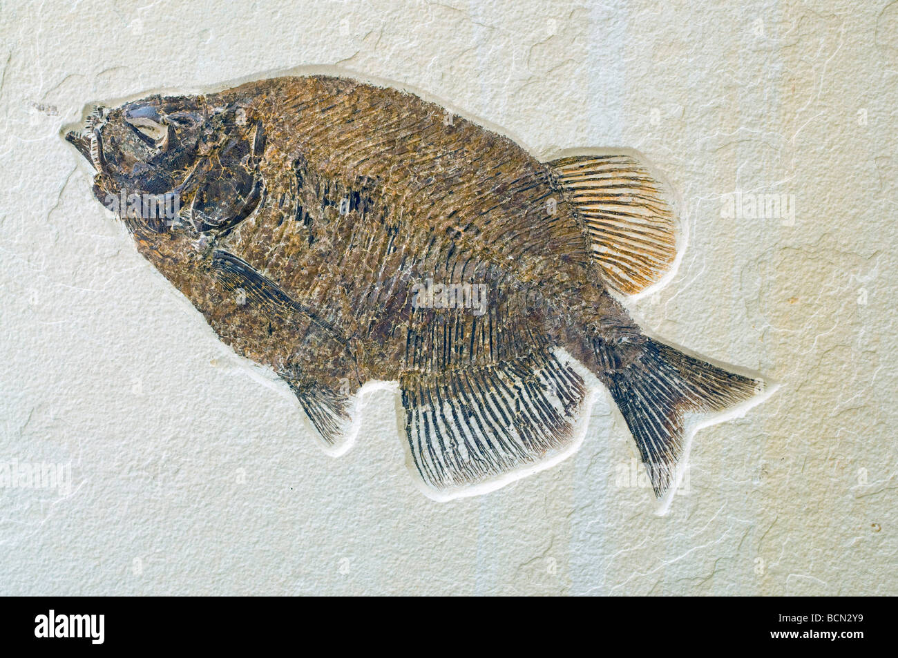 Fish Fossil Phareodus, Laggerstatte deposits of the Green River Formation Wyoming USA Eocene Era, by Dominique Braud/Dembinsky - Stock Image
