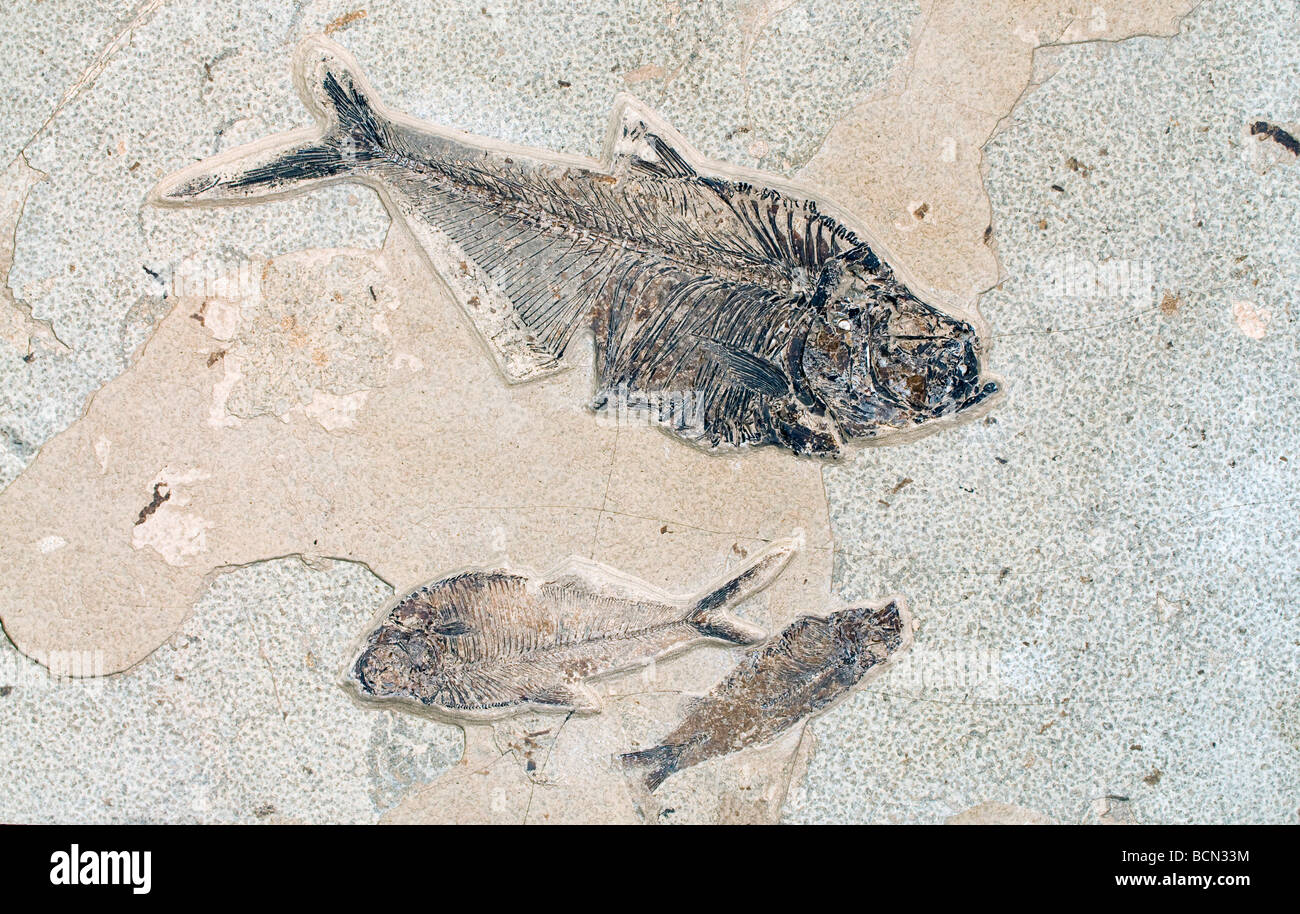 Fish Fossils Dyplomystus dentatus, larger two and smaller Knightia eocaena bottom right Green River Formation Wyoming - Stock Image