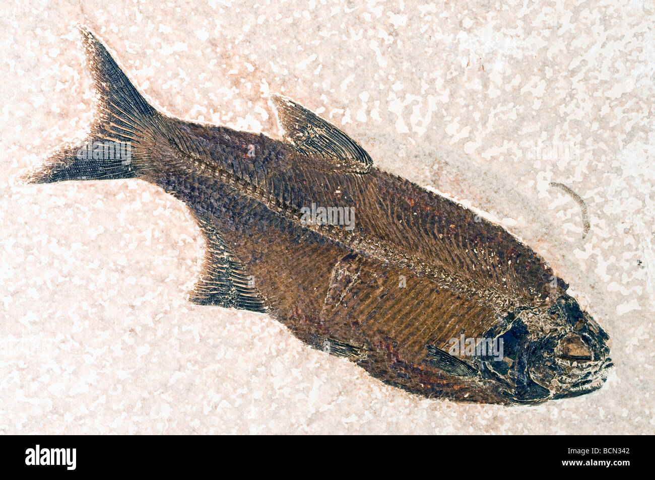 Mooneye Fish Fossil  Eohiodon falcatus with crushed shell in its stomach which may have killed it Wyoming USA - Stock Image