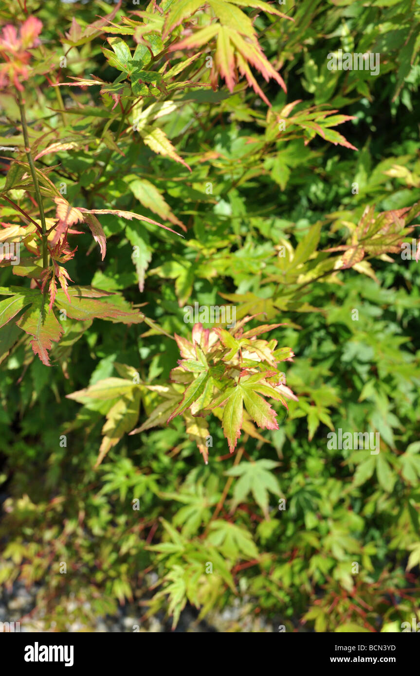 green acer japanese maple summer leaves bush red fauna thicket herbacious decorative tree branch twig sap Stock Photo