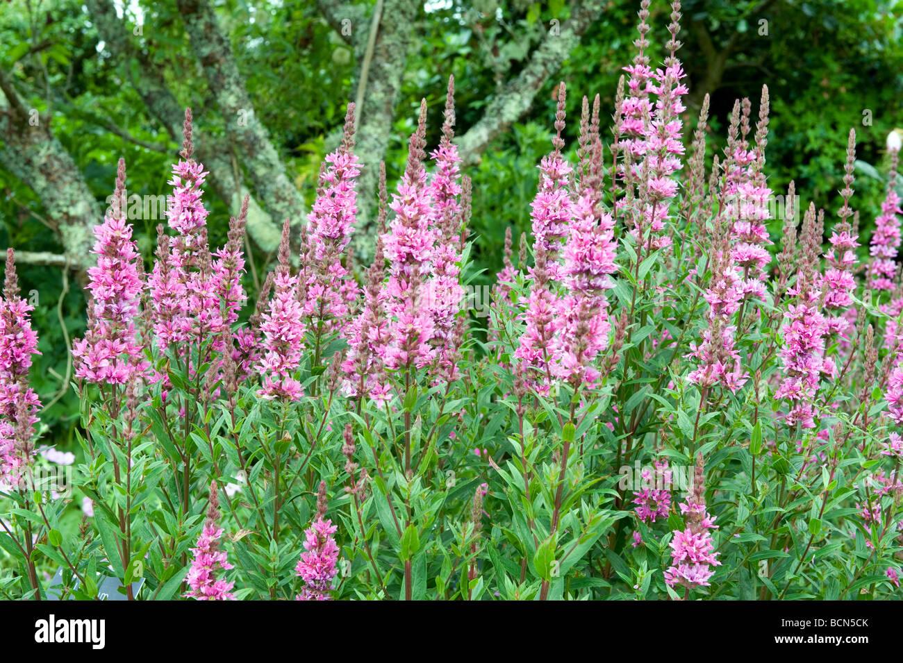 Scrophulariaceae Penstemon Versuvius A Very Pretty Scene Of Pink