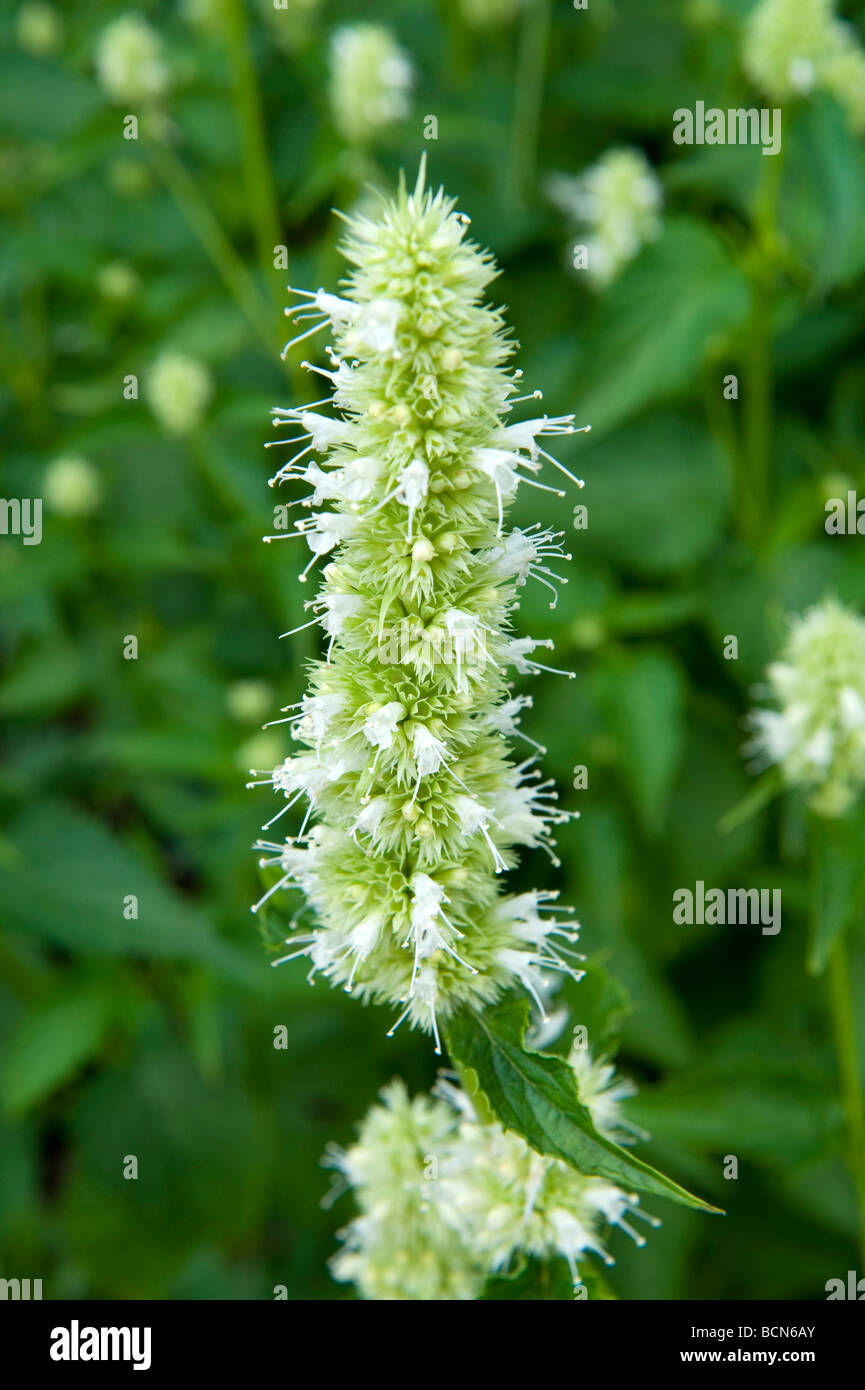 Sanguisorba Burnet Rosaceae Tenuifolia 'Alba'. White spiky single flower. - Stock Image