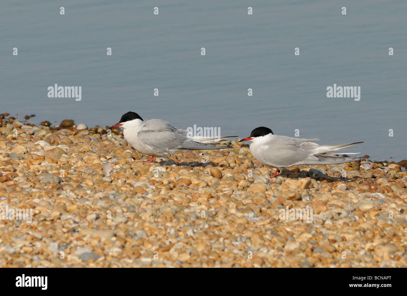 A pair of Common Terns (Sterna hirundo) on the shingle near its nesting colony.  Rye Harbour Nature Reserve. Stock Photo