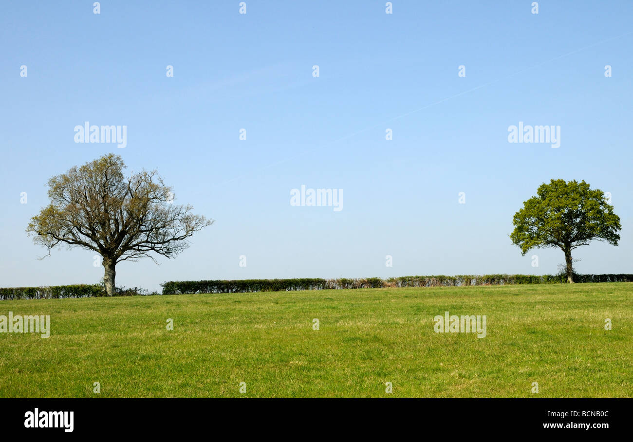 A neatly cut field hedge with two Oak trees (Quercus Robur) with leaves just appearing in spring. Burwash, Sussex, Stock Photo
