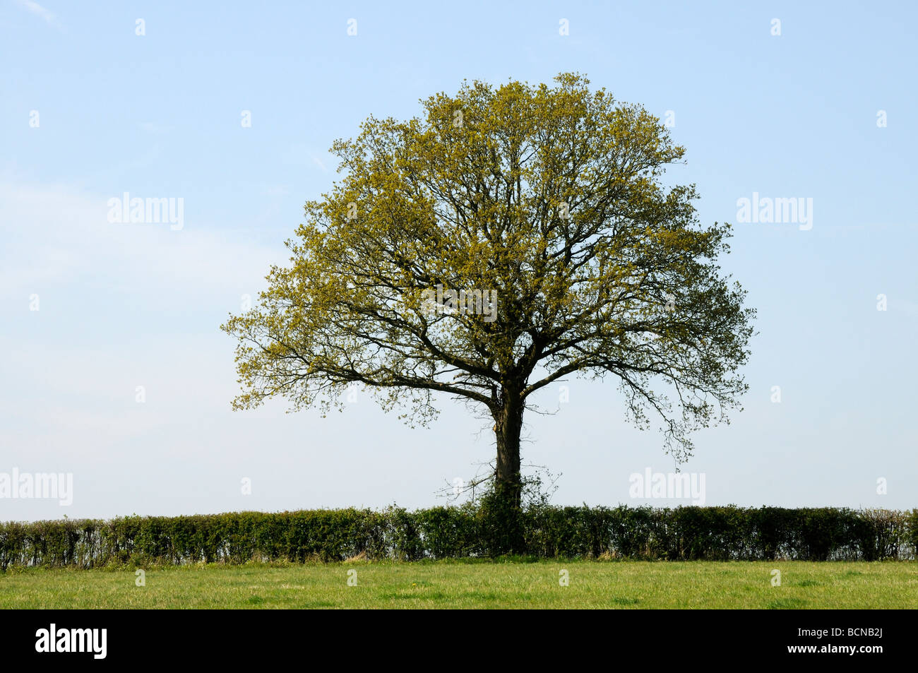 A neatly cut field hedge with an Oak tree (Quercus Robur) with leaves just appearing in spring. Burwash, Sussex,Stock Photo