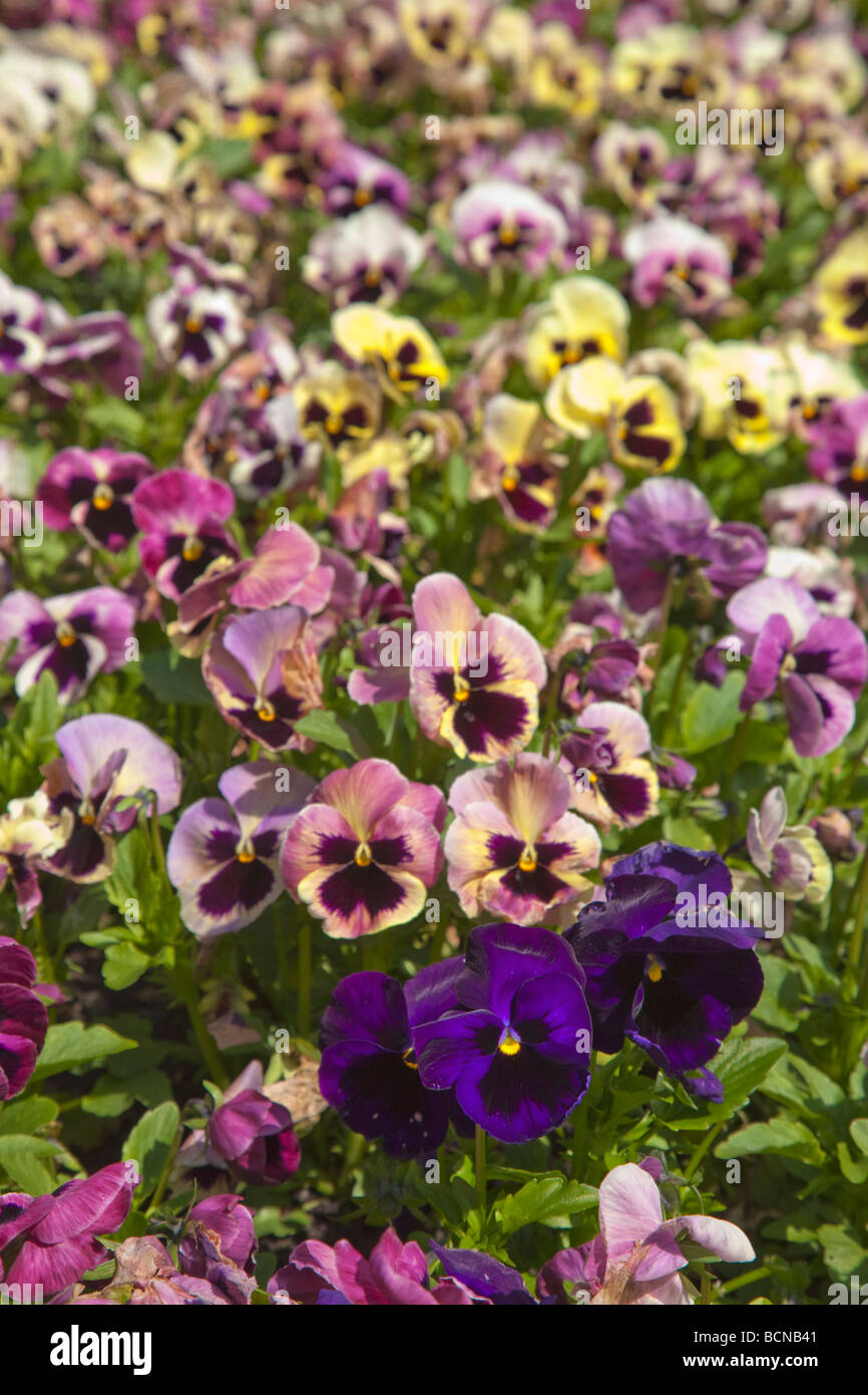 Pansies of all colors colours in flowerbed Dublin Ireland - Stock Image