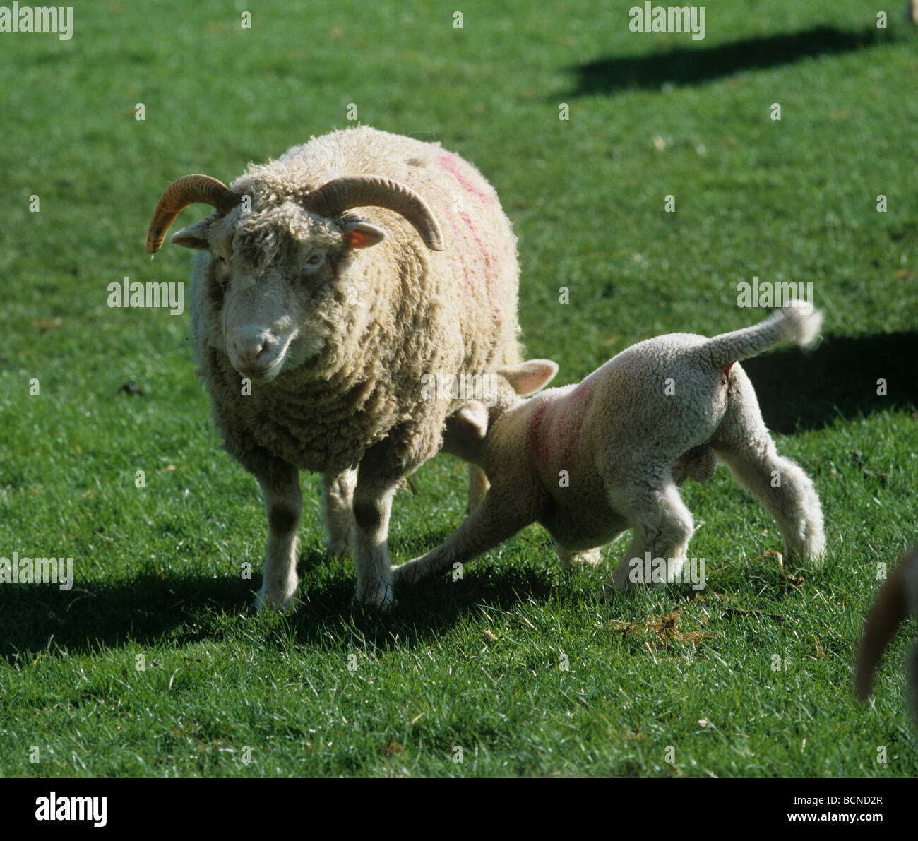 Lamb suckling Dorset Horn ewe Hampshire - Stock Image