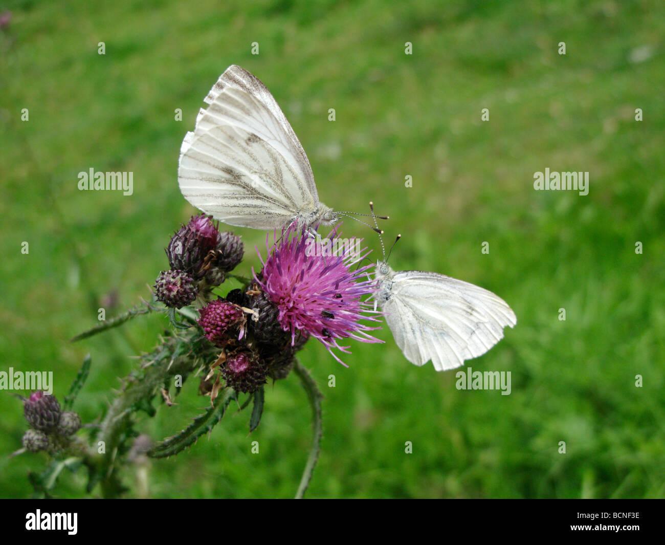 Two Green Veined White butterflies, Pieris napi , feeding on a thistle - Stock Image