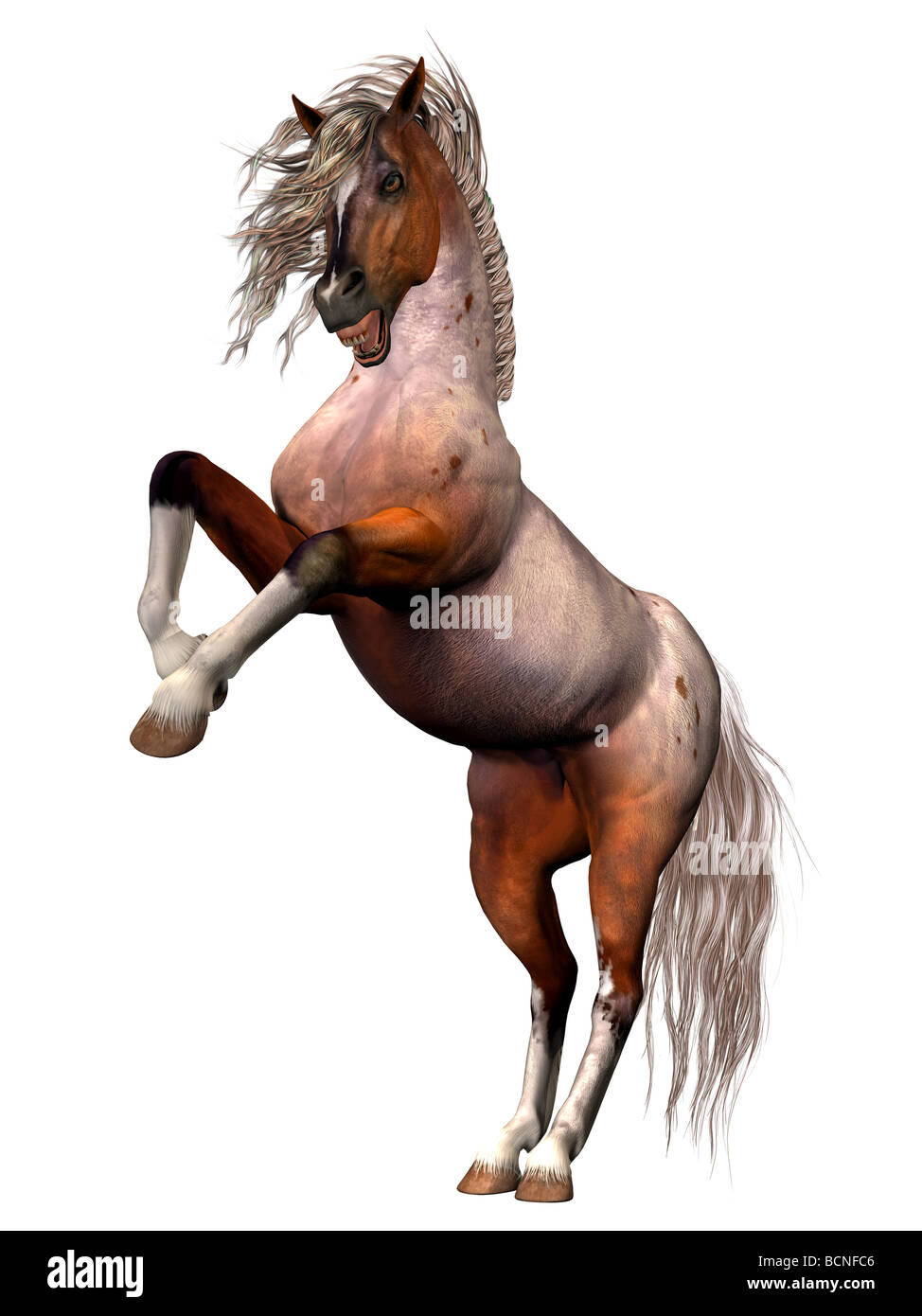 A Brabant Bay breed of horse rearing in anger, in defnese of itself or its mate, or attacking. - Stock Image
