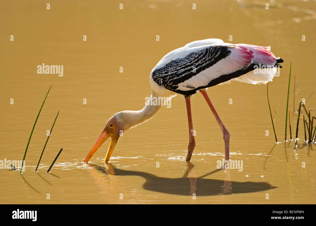 Painted Stork (Mycteria leucocephala) feeding, Yala National Park, Sri Lanka - Stock Image