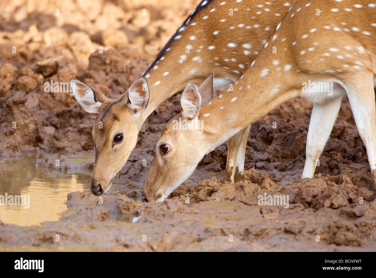 Spotted Deer (Axis axis) drinking from waterhole, Yala National Park, Sri Lanka - Stock Image