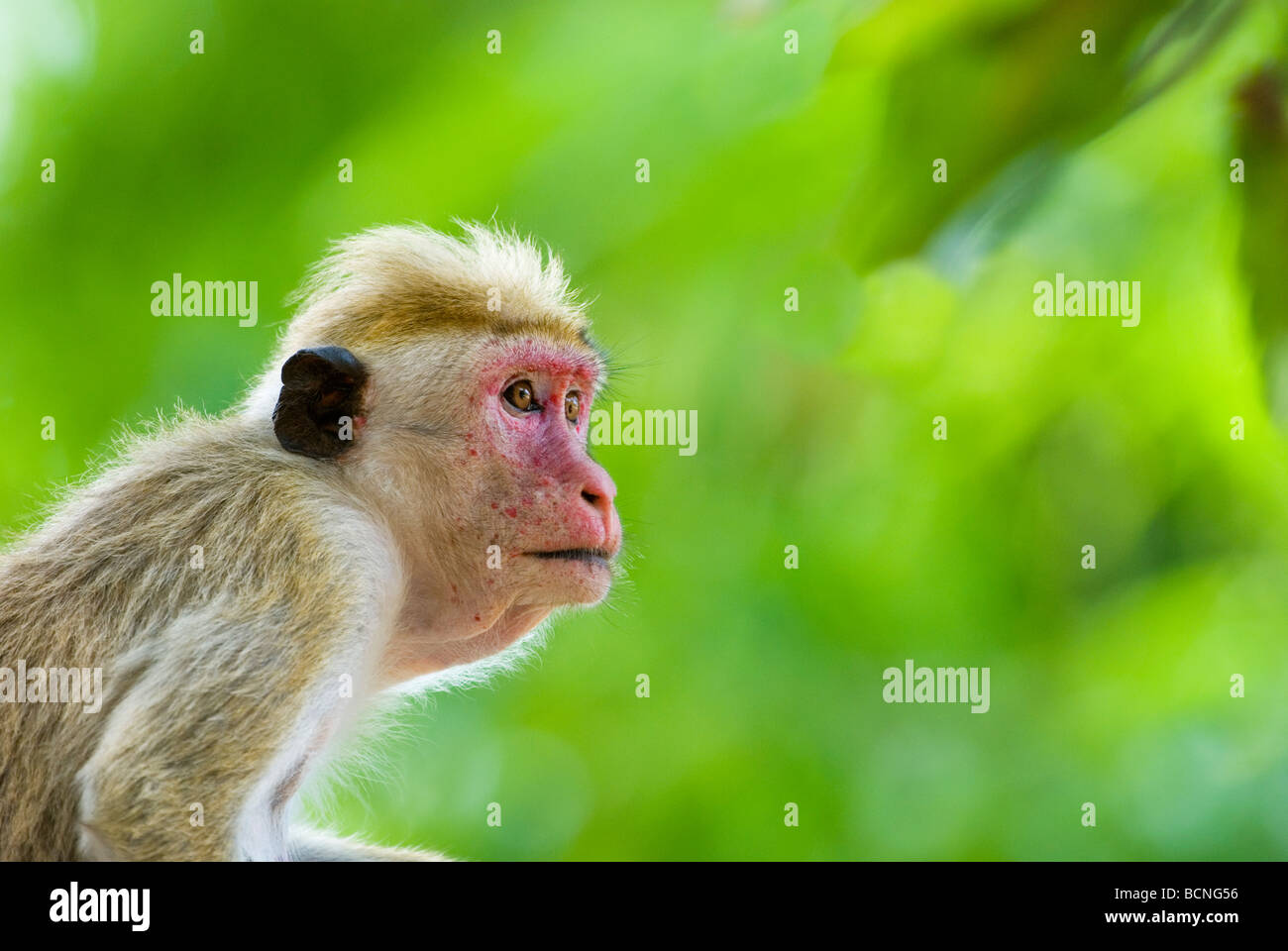 Toque Macaque (Macaca sinica), Yala National Park, Sri Lanka - Stock Image