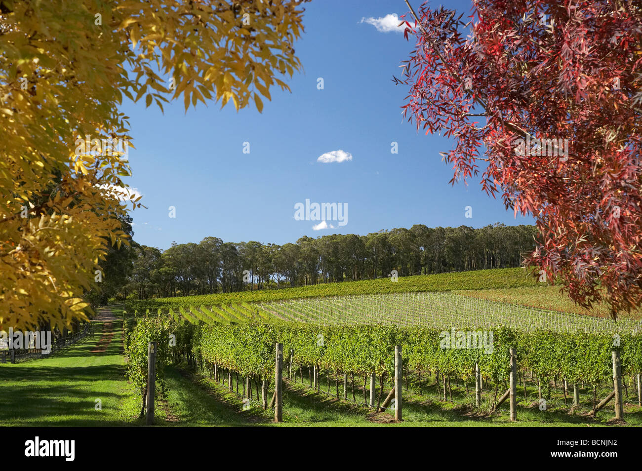 Autumn Colour Centennial Vineyards Bowral Southern Highlands New South Wales Australia - Stock Image