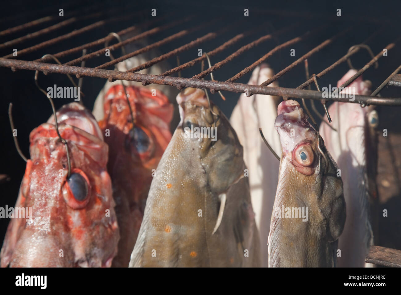 Smoked flatfish turbot and sea perch in home made fumigate oven - Stock Image