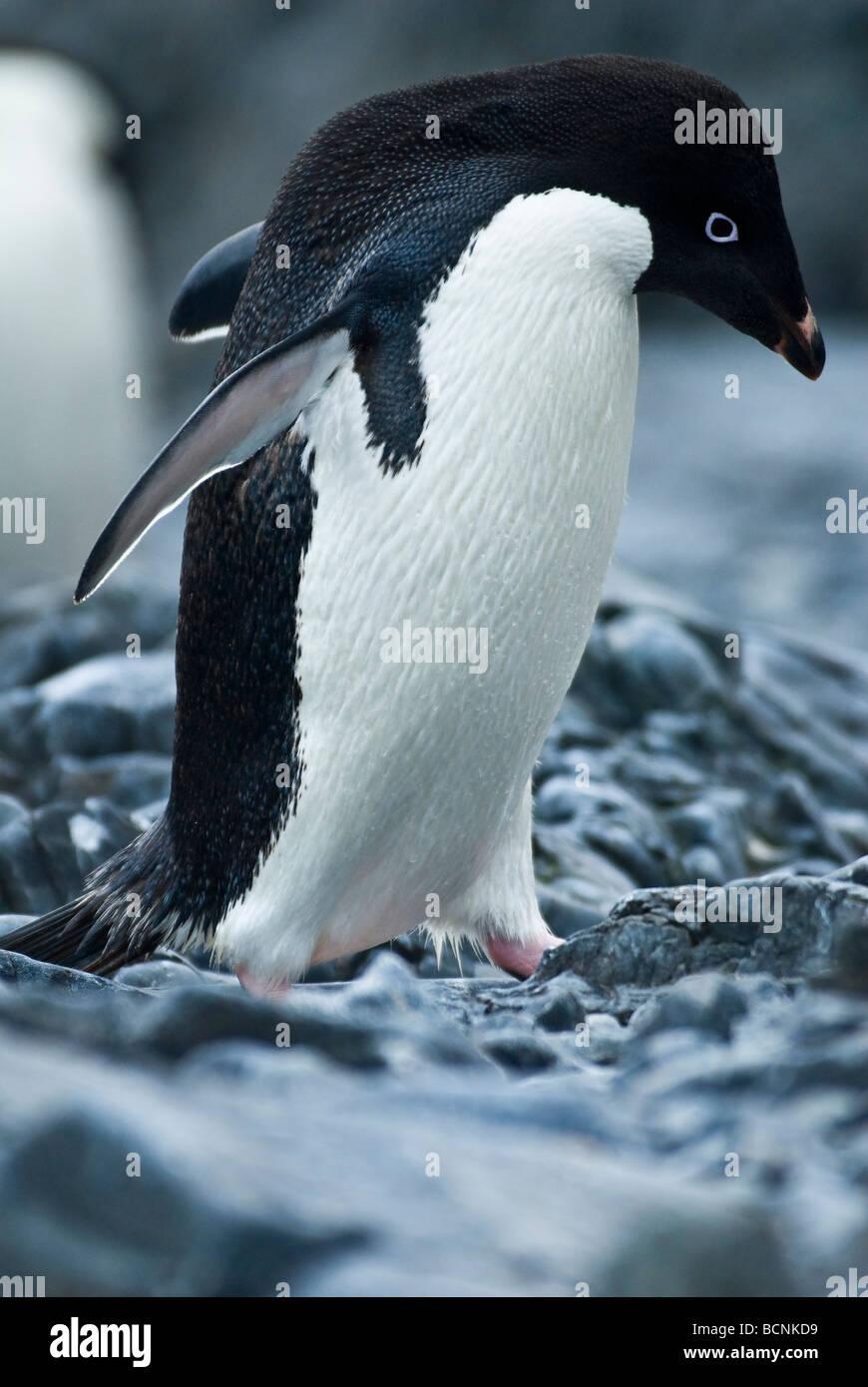 Adélie Penguin; Hope Bay; Antarctic Peninsula; Antartica - Stock Image