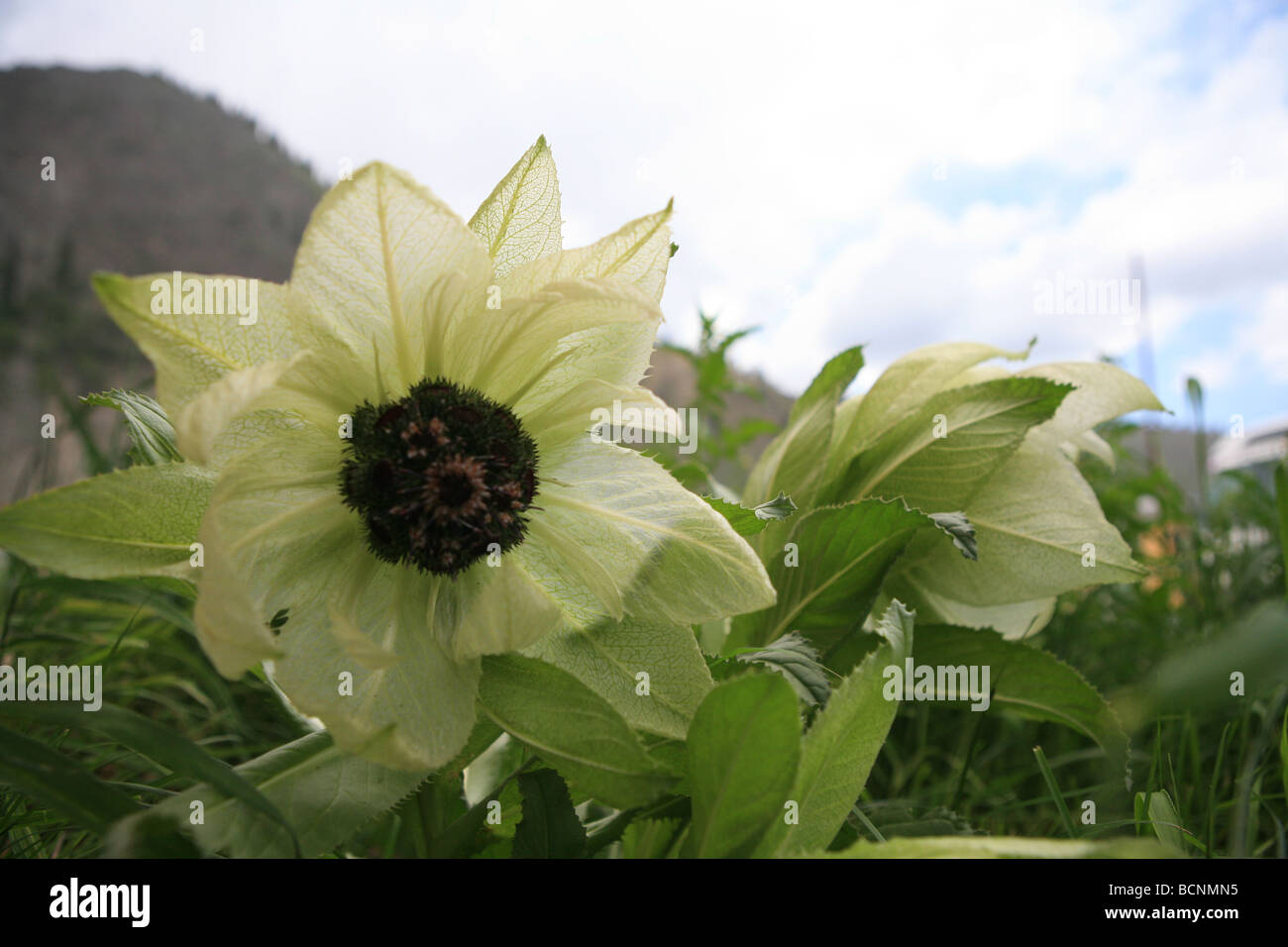 Snow Lotus Herb Blooming On Stock Photos Snow Lotus Herb Blooming