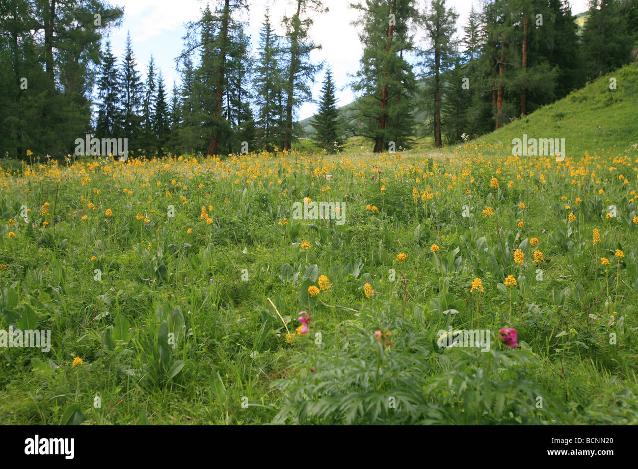Grassland and forest, Kanas Conservation, Xinjiang Uyghur Autonomous Region, China - Stock Image