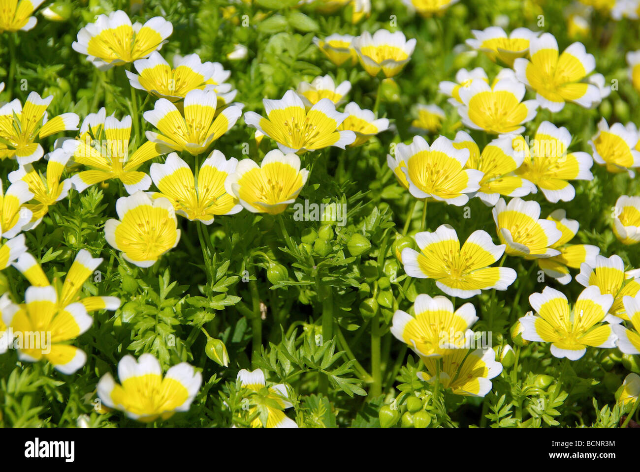 Sumpfblume poached egg plant 02 - Stock Image