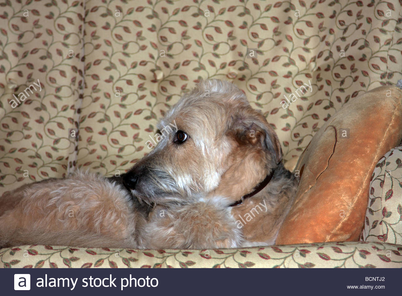 Pampered Dog Looking Expectantly on a Settee - Stock Image