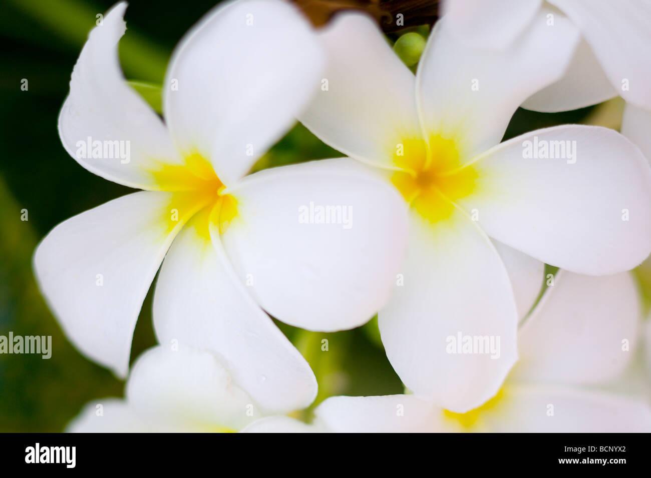 Two frangipani blooms - Stock Image