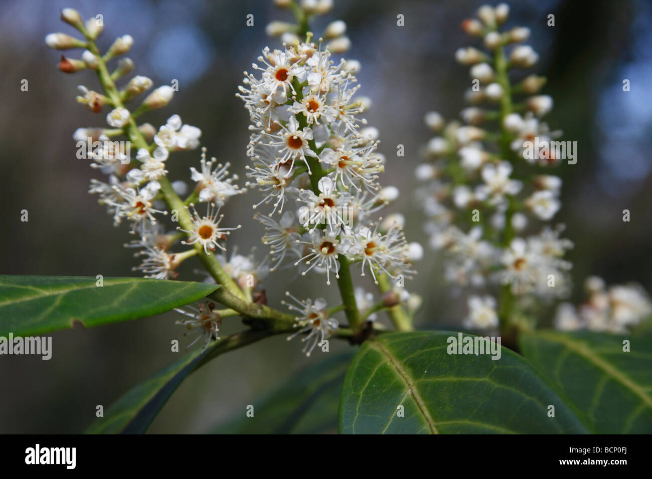 laurel Prunus laurocerasus close up of flower spikes - Stock Image