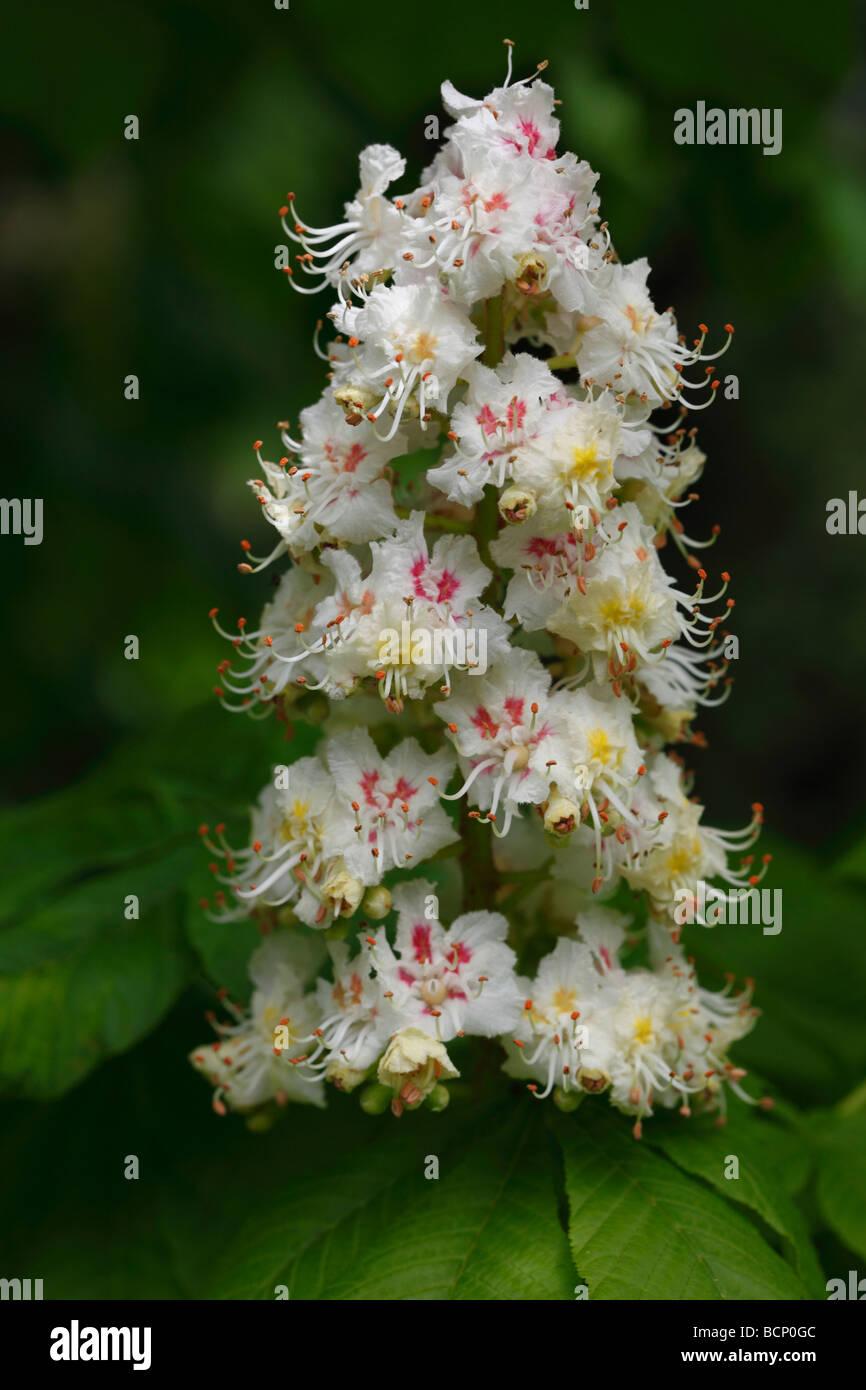 horse chestnut Aesculus hippocastanum close up of flower - Stock Image