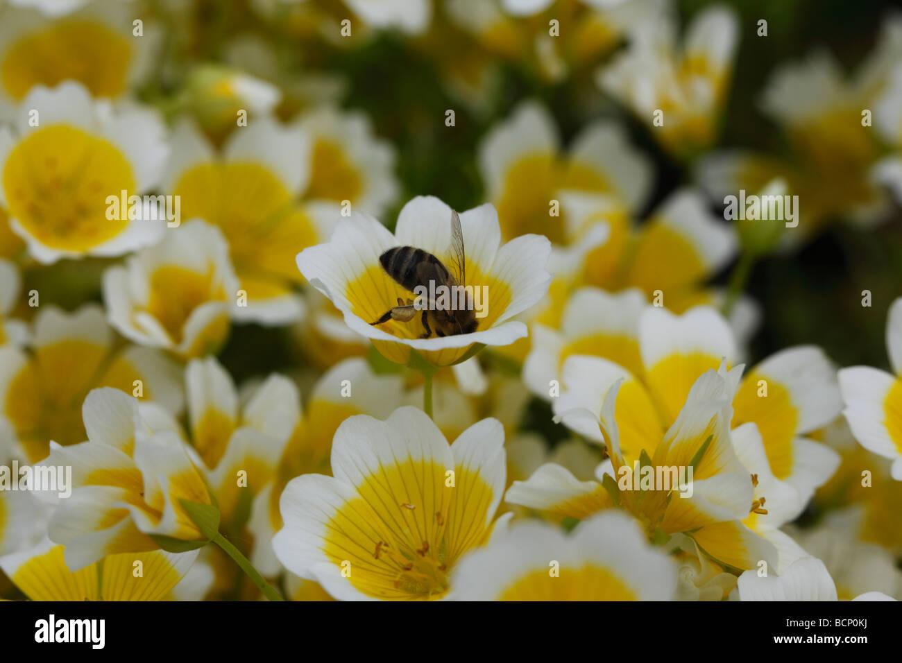 Honey bee Apis melifera taking nectar from poached egg plant flower - Stock Image