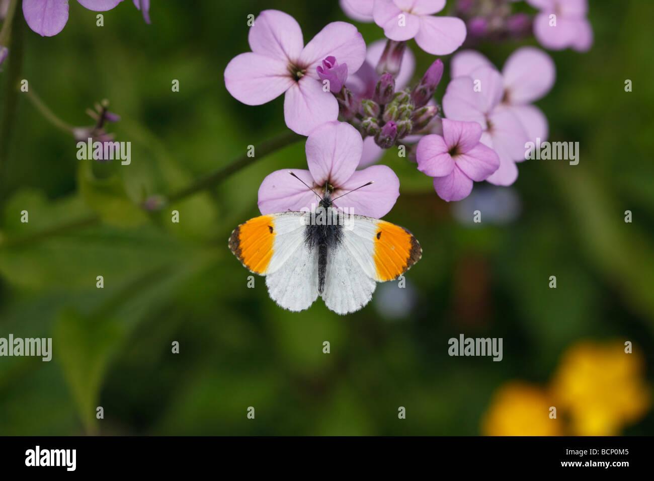 Orange tip Anthocharis cardamines male on honesty flower Stock Photo