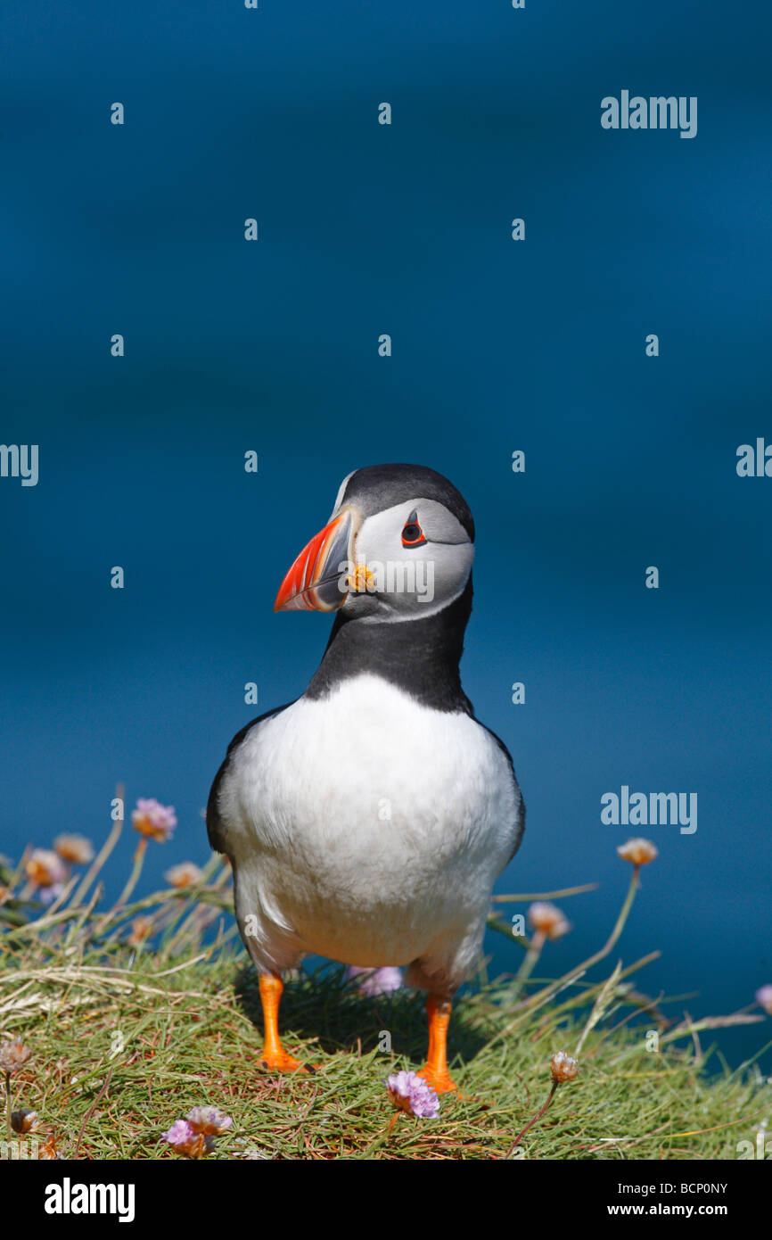 Puffin Fraticula arctina standing on ledge - Stock Image