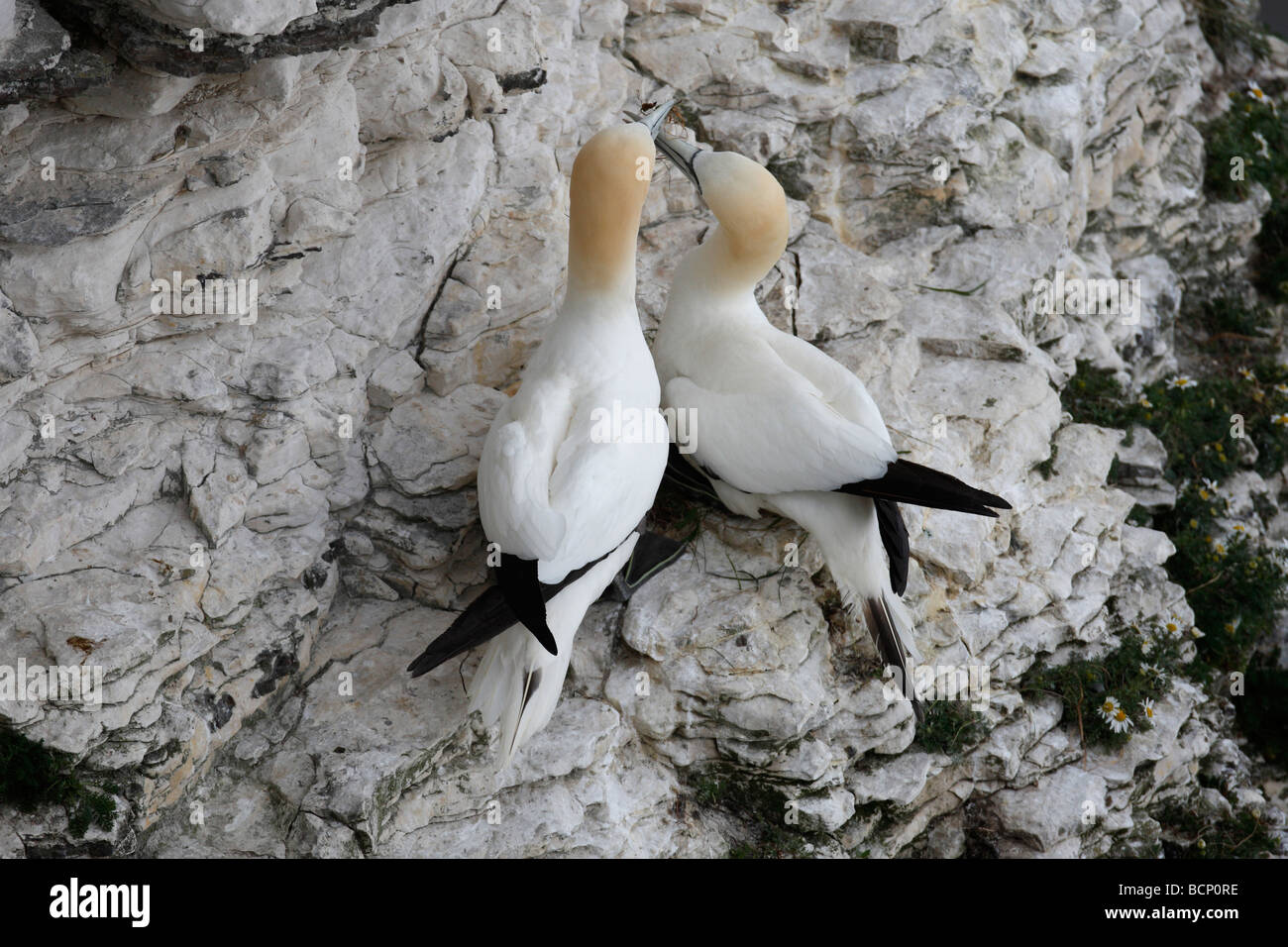 Gannet Sulu bassana pair at nest with nest material - Stock Image