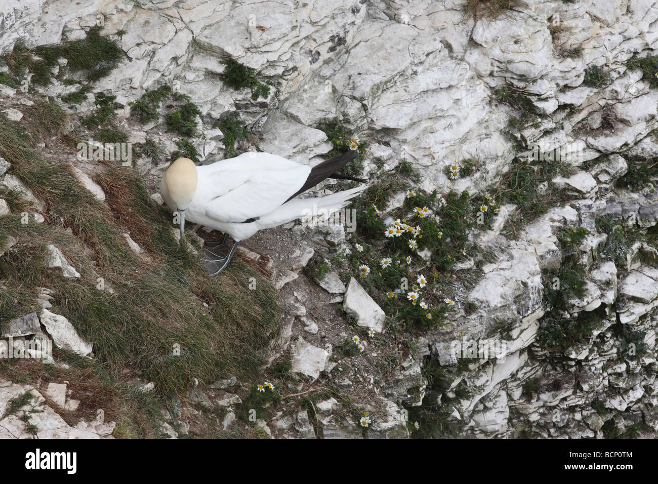 Gannet Sulu bassana collecting nest material - Stock Image