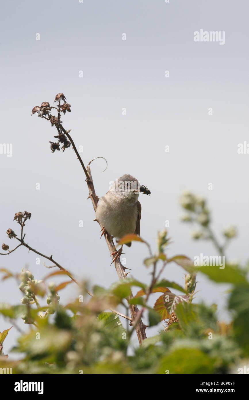 whitethroat Sylvia communis perching in bramble - Stock Image