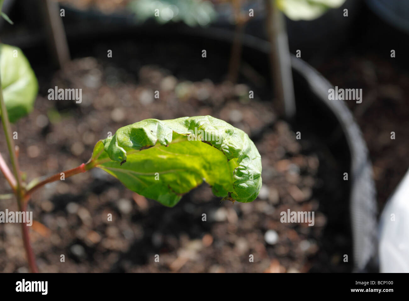 bean yellow mozaic virus on runner bean - Stock Image