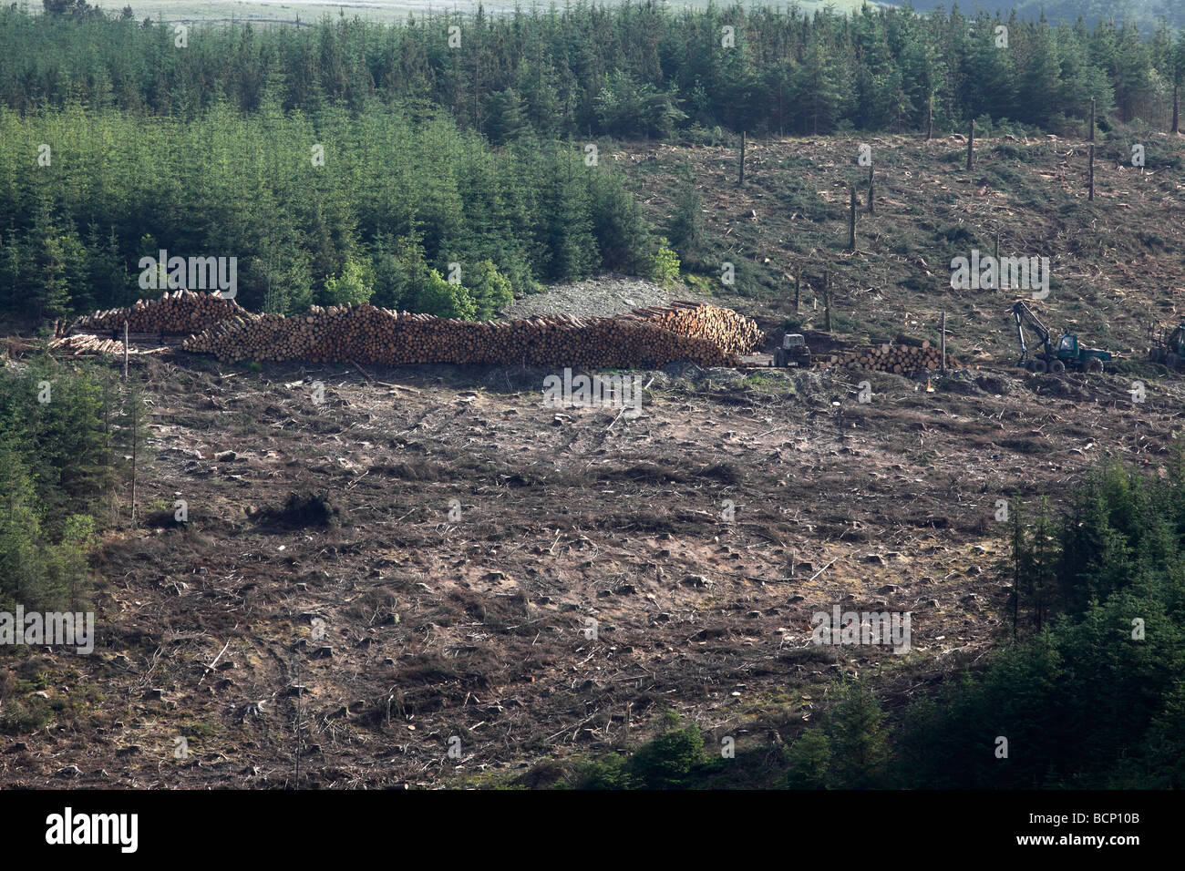 clear felling coniferous woodland West wales - Stock Image