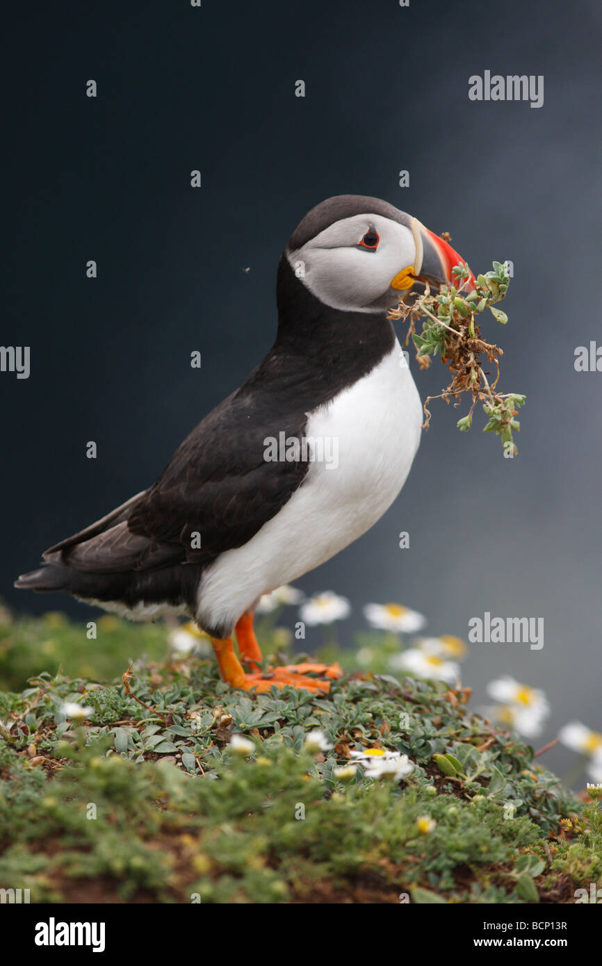 puffin Fratercula arctica carrying nest material - Stock Image