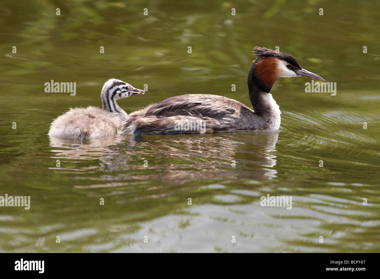 Great crested grebe Podiceps cristatus swimming with youngster - Stock Image