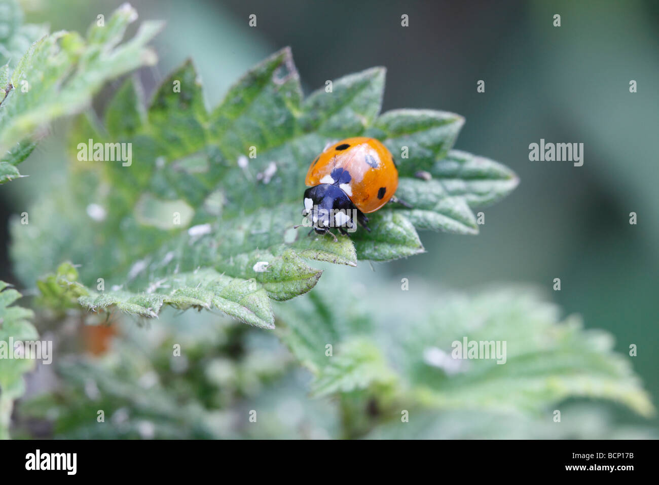 Seven spot ladybird Coccinella 7 punctata looking for aphids - Stock Image