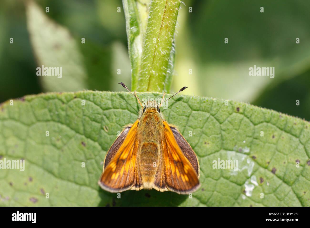 Large skipper Ochlodes venatus male at rest on comfrey leaf Stock Photo