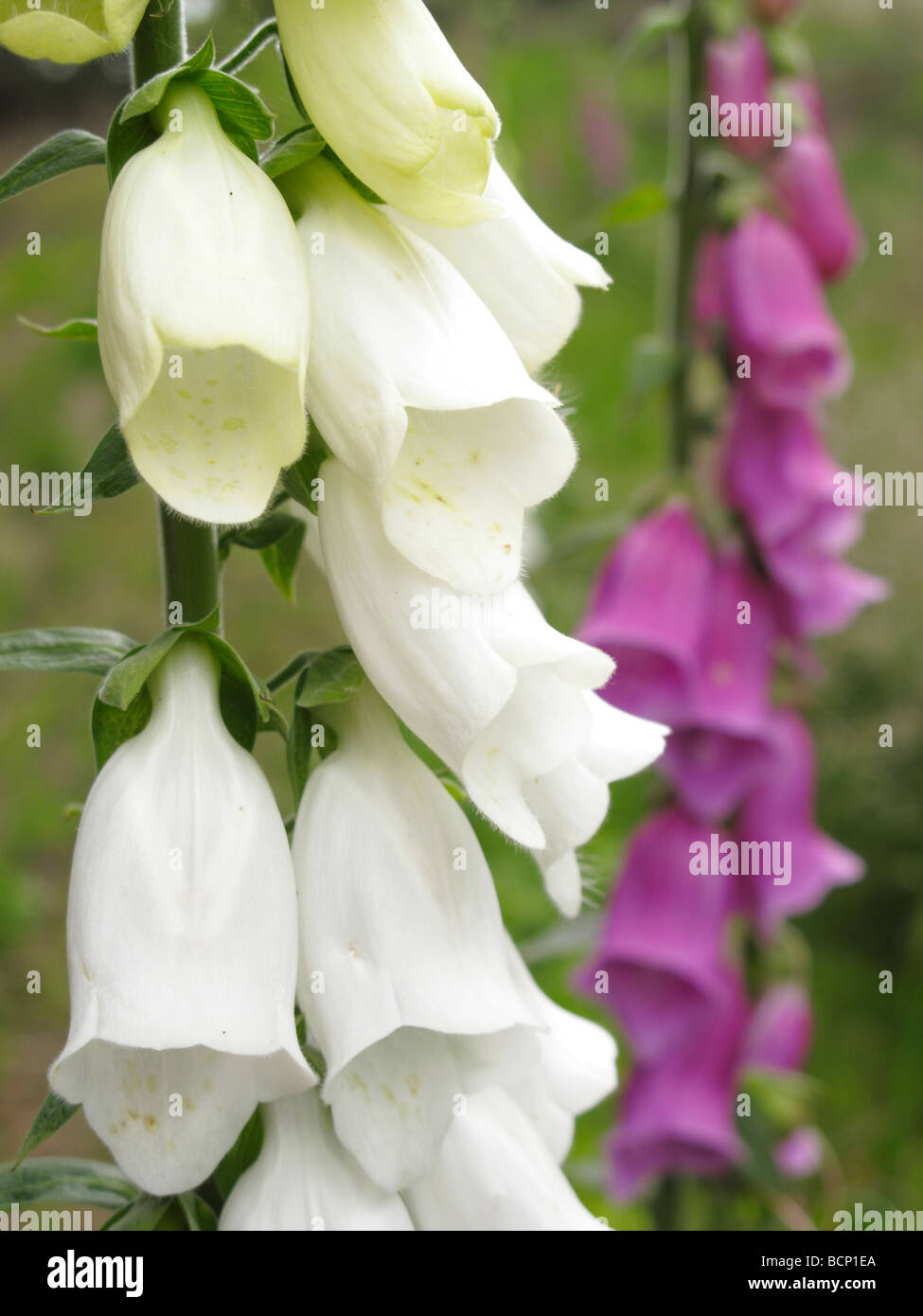 Foxglove Digitalis purpurea Alba - Stock Image