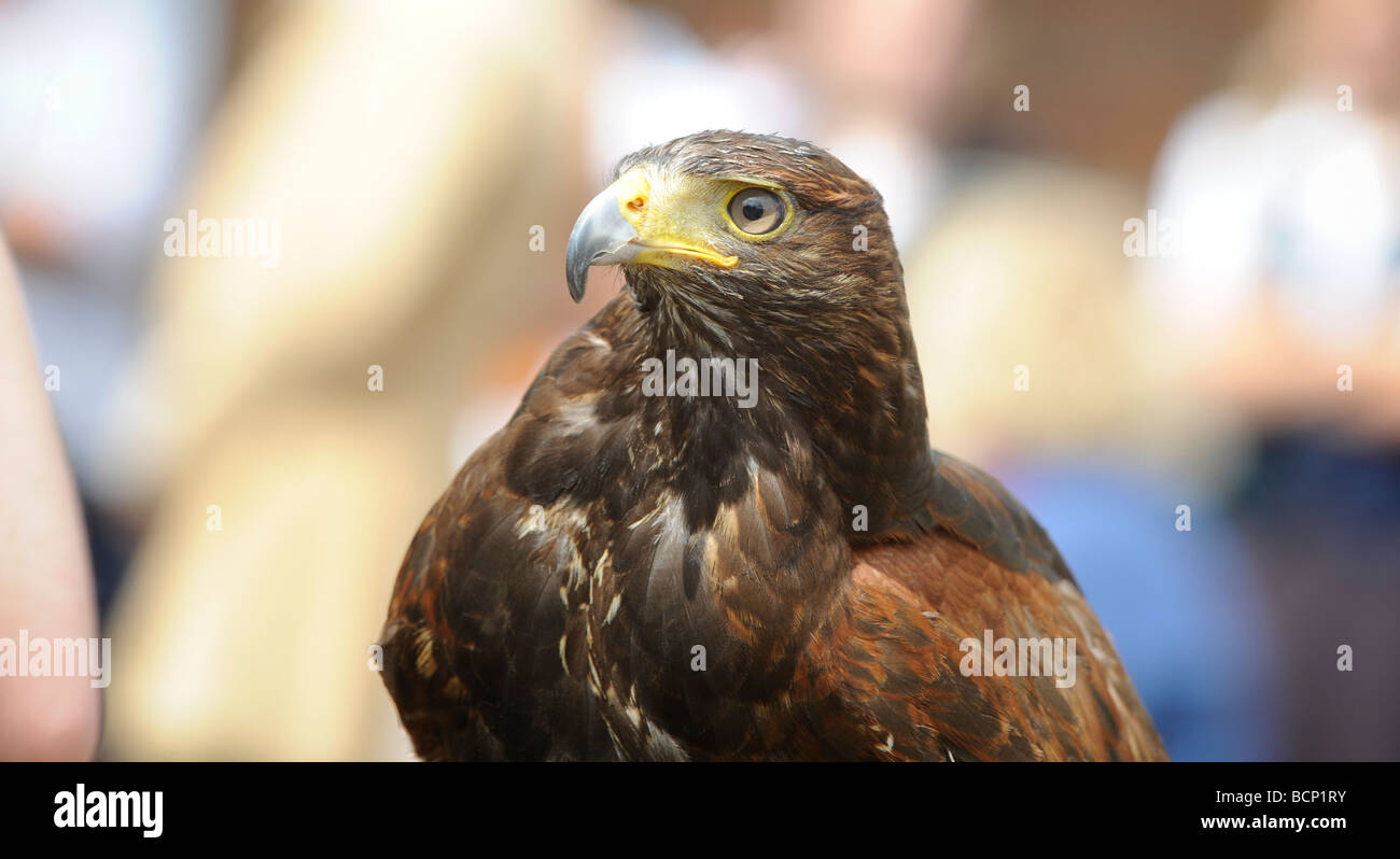 Falconry display bird in crowd at a summer fair. - Stock Image