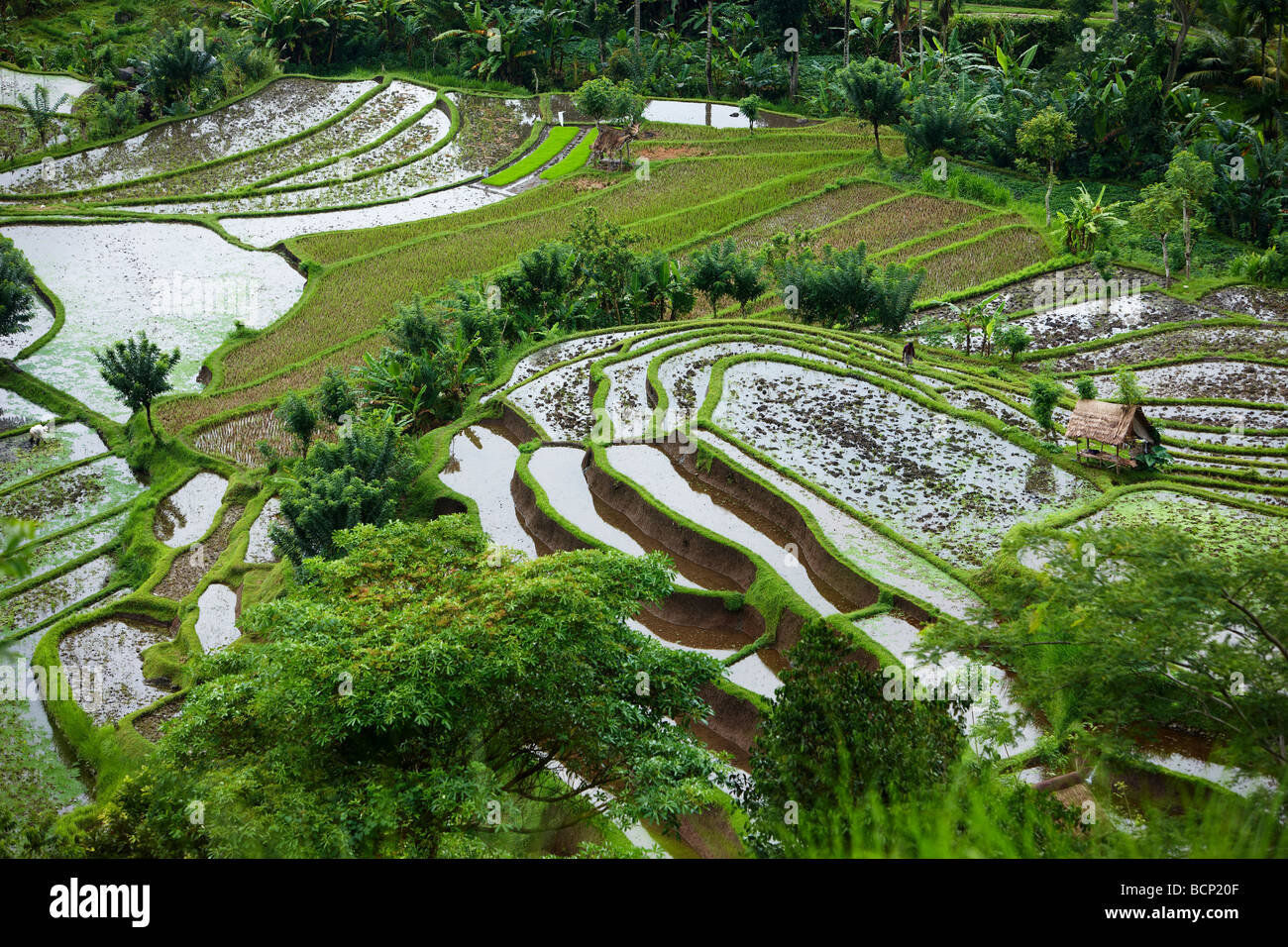 rice terraces, nr Tirtagangga, Bali, Indonesia - Stock Image