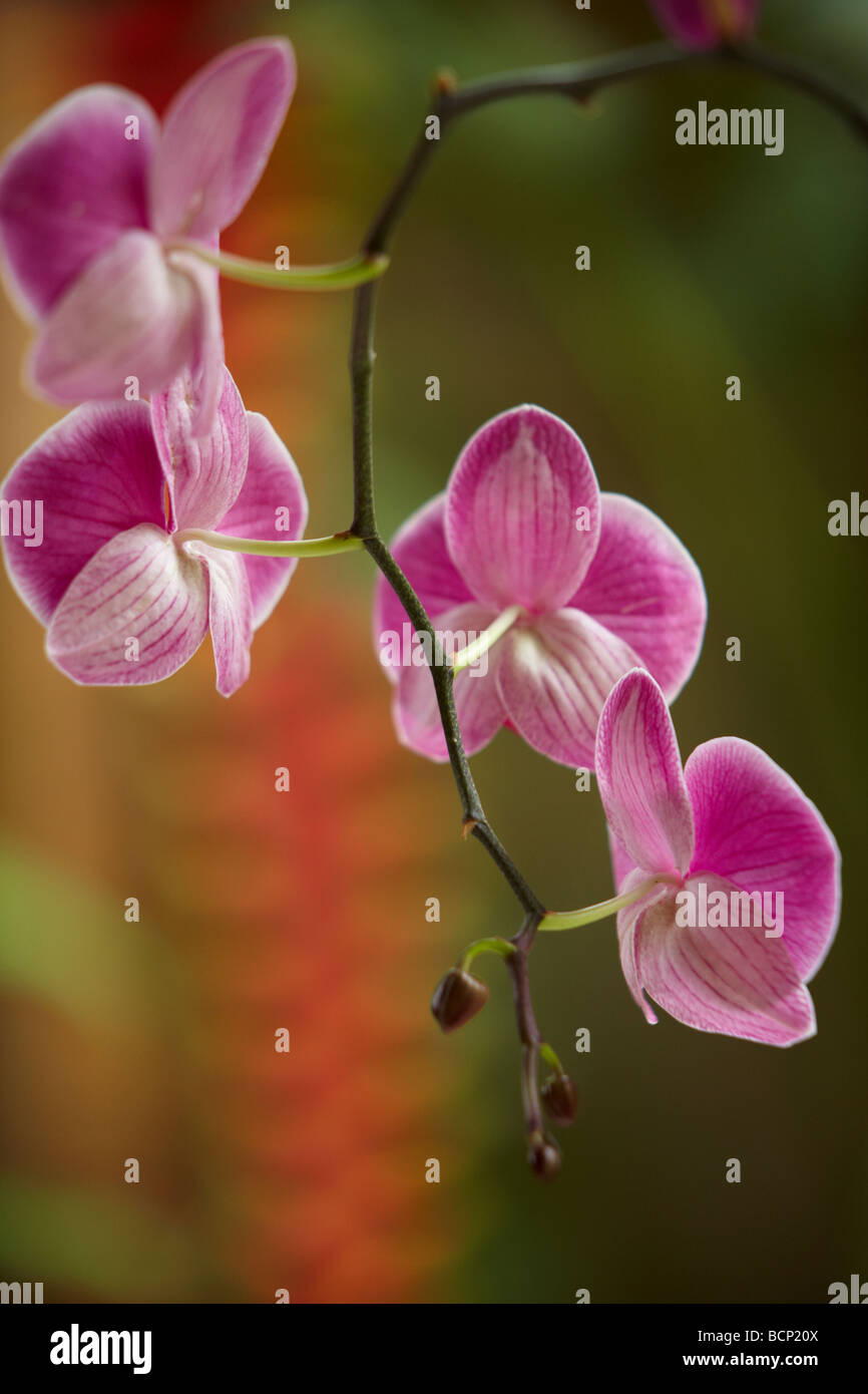 Pink flowers of an Orchid (Phalaenopsis), Bali, Indonesia - Stock Image