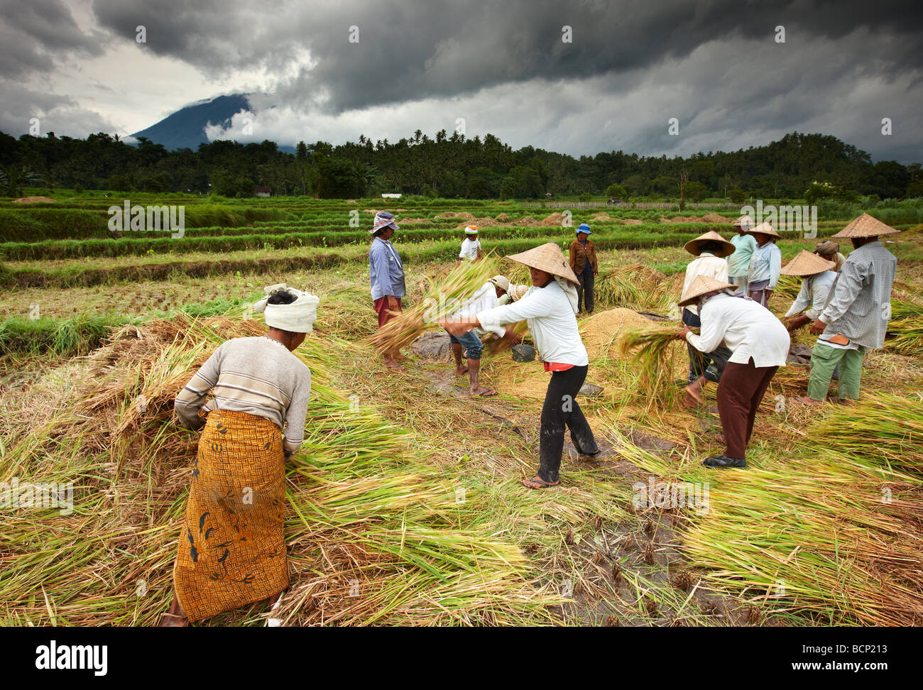 workers threshing rice in the fields nr Sibetan, Bali, Indonesia - Stock Image