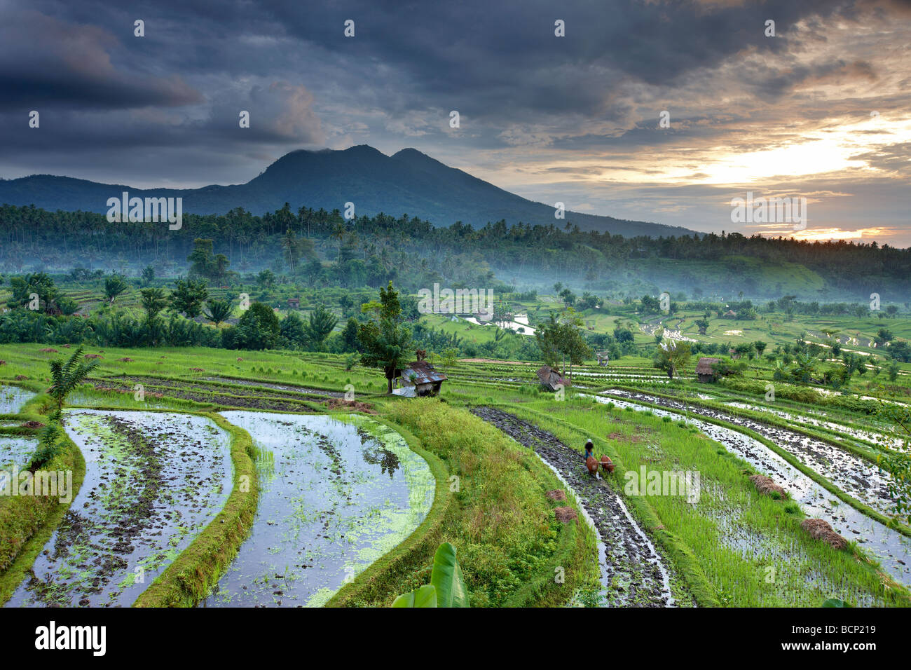 ox driven plough in the terraced rice fields nr Tirtagangga at dawn with the volcanic peak of Gunung Lempuyang, Stock Photo