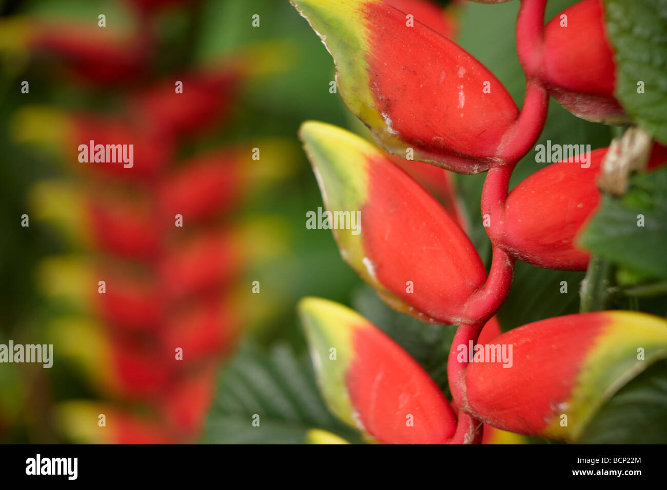detail of a heliconia pendula, Bali, Indonesia - Stock Image