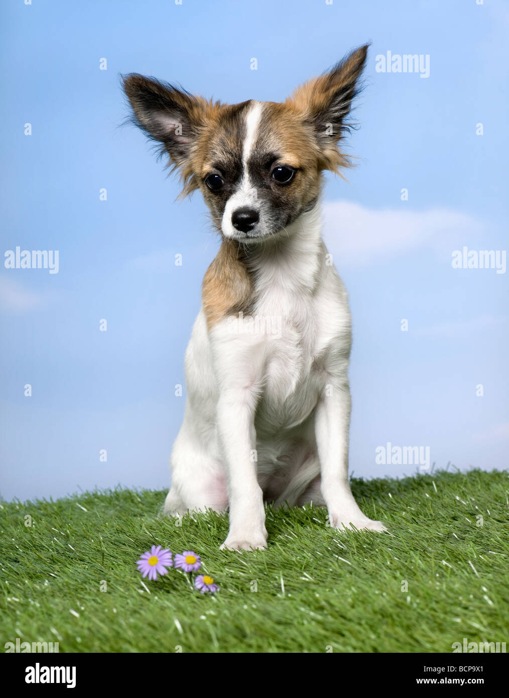 Chihuahua puppy sitting on grass against blue sky, studio shot - Stock Image