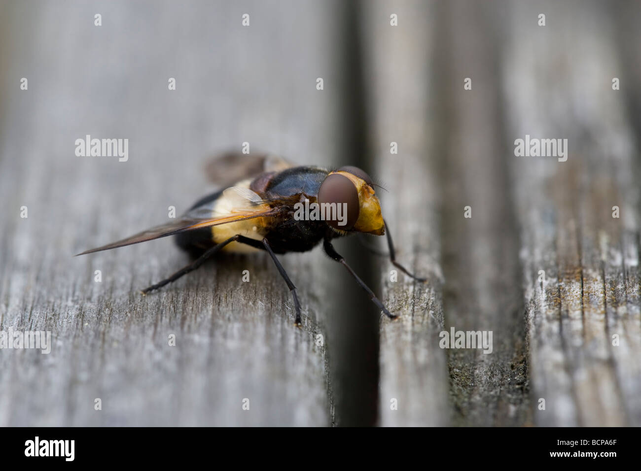 Volucella Inflata Fly True Flies Order Diptera Stock Photo