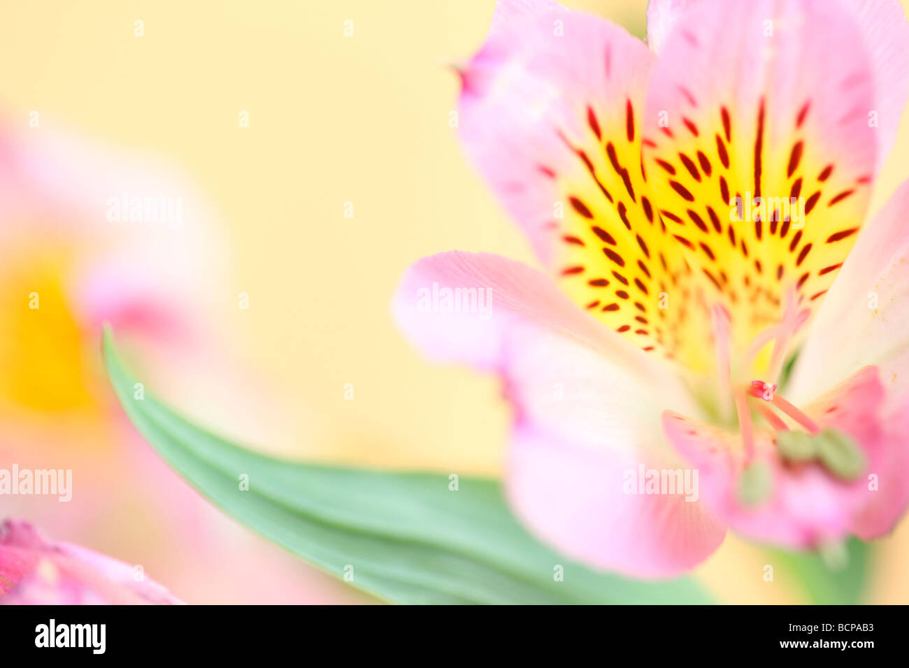 beautifully delicate image of the loved alstroemeria fine art photography Jane Ann Butler Photography JABP364 - Stock Image